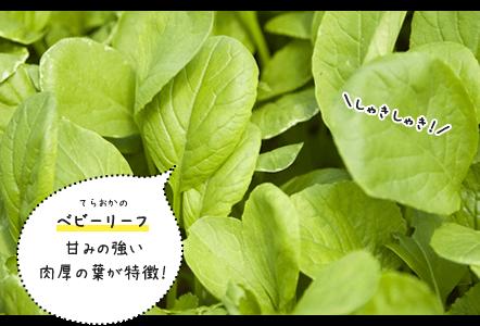 てらおかのベビーリーフ 甘みの強い肉厚の葉が特徴!